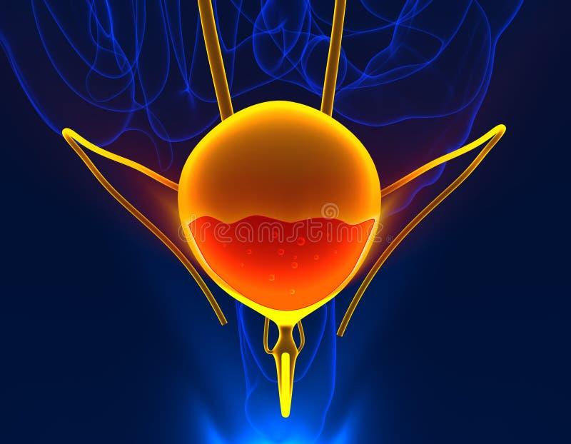 Sang de vessie en organe interne masculin d'anatomie douloureuse d'urine - 3d illustration de vecteur
