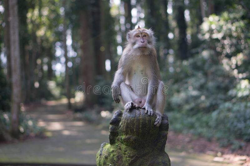 Sangeh apaskog på Bali arkivbild