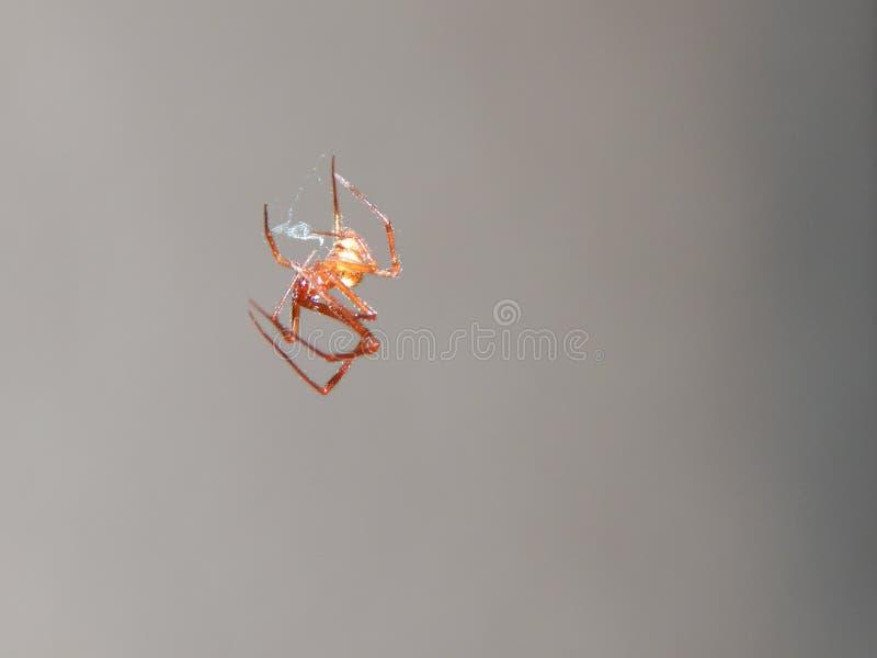 Sangle d'araignée images stock