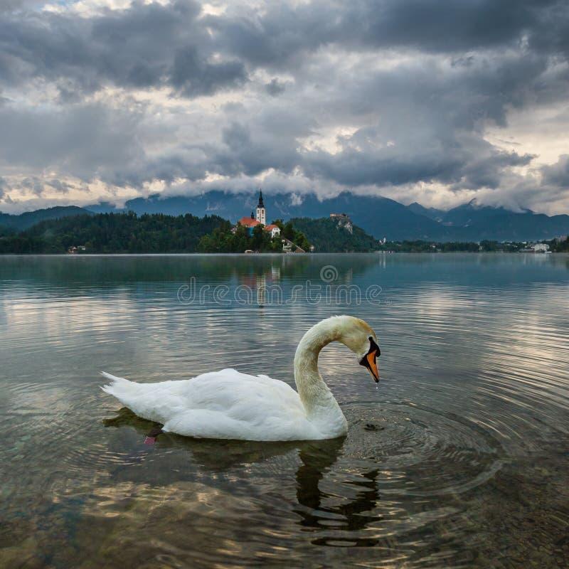Sangrado, Eslovenia - cisne blanco en Blejsko sangrado lago Jezero con la iglesia del peregrinaje de la suposición de Maria en un imagen de archivo libre de regalías