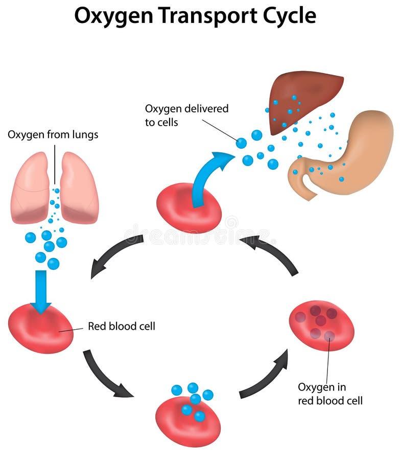 Sangre del ciclo de la respiración etiquetada libre illustration