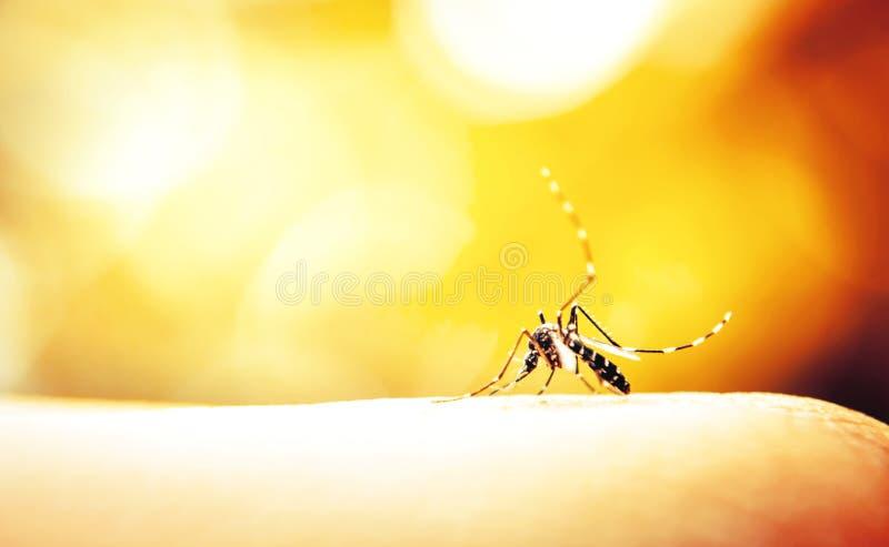 Sangre que aspira del mosquito imagenes de archivo
