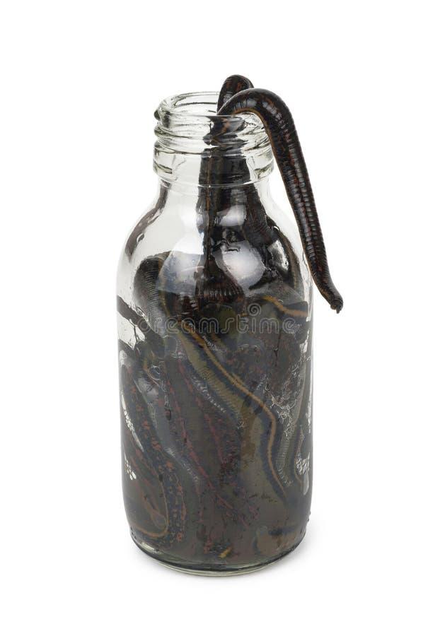 Sangsues médicales dans une bouteille en verre images libres de droits