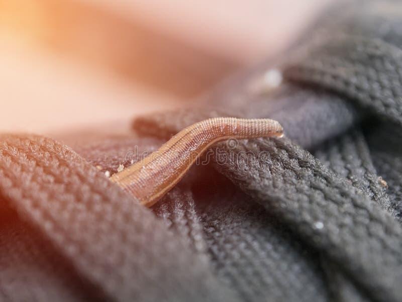 Sangsues ou lingot ha de terre les sylvestris d'emadipsa passe ma chaussure images libres de droits
