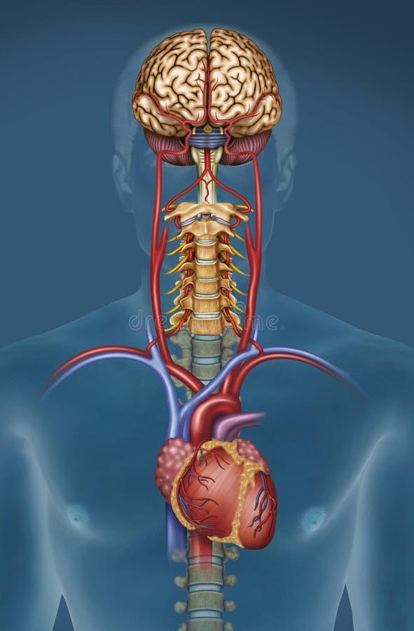 SanguÃneo de Riego cerebral ilustração do vetor