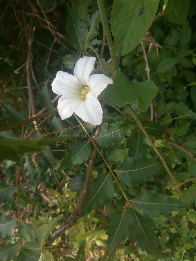 Sangu kwiat obrazy royalty free