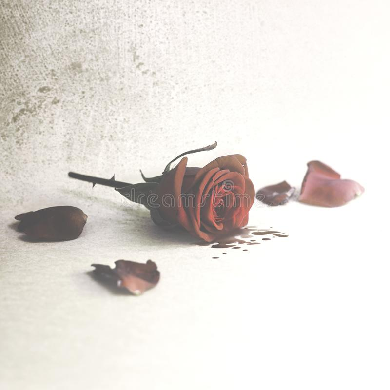 sangue de grito cor-de-rosa das pétalas, amor ferido fotos de stock