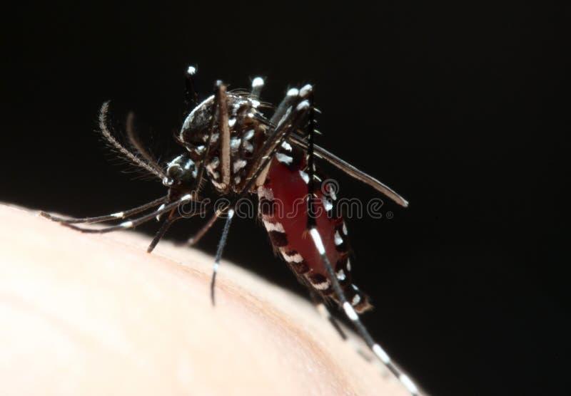 Sangue de sugação do mosquito do Aedes imagem de stock royalty free