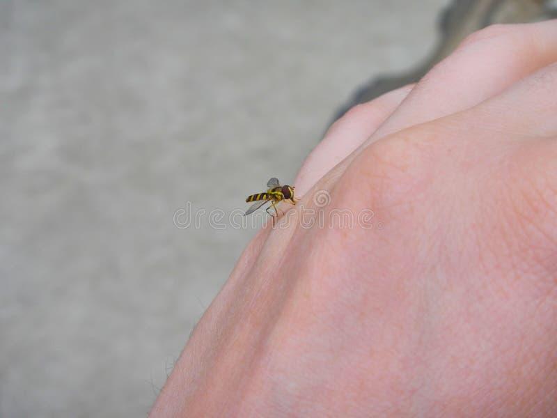 Sangue de sugação do mosquito em uma mão ilustração royalty free