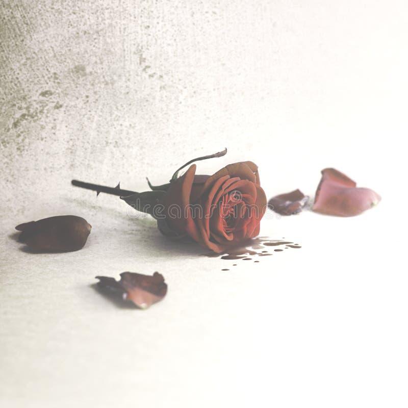 sangue gridante rosa dai petali, amore ferito fotografie stock