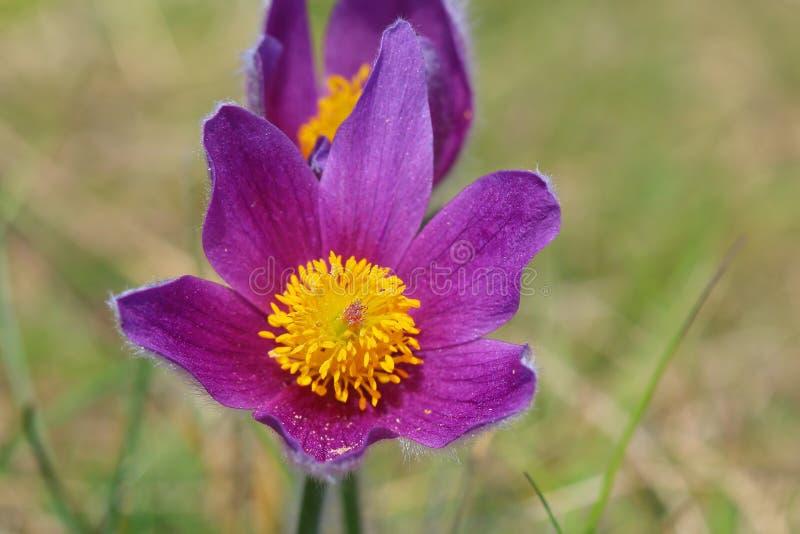 Sangue porpora di Dane's - di Pasque Flowers immagini stock libere da diritti