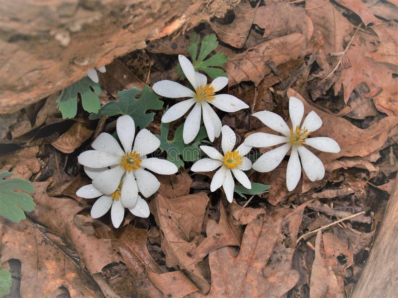 A Bloodroot Plant Emerging In A Spring Forest  Stock Image