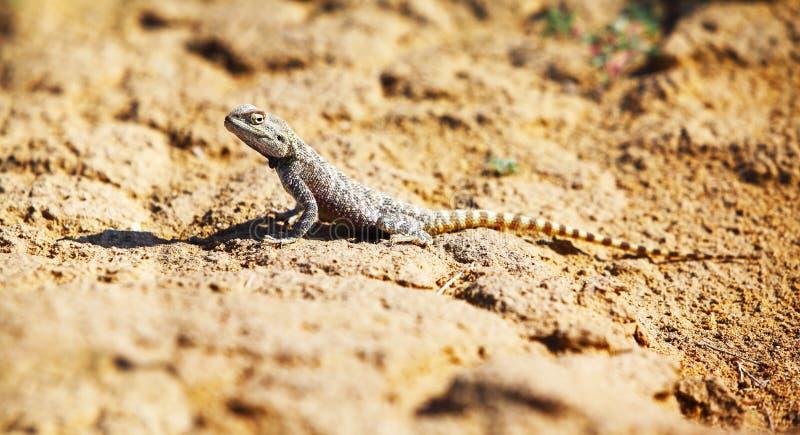 Sanguinolentus Trapelus, ящерица стоковая фотография rf