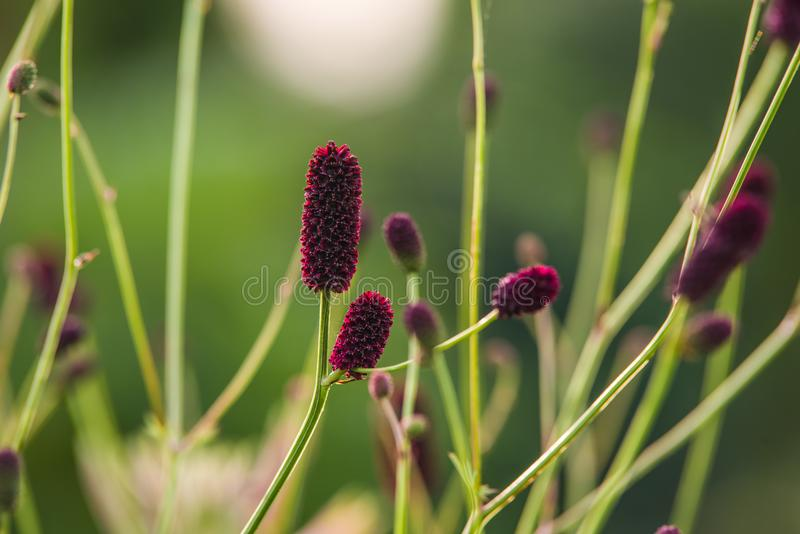 Sanguisorba stock foto