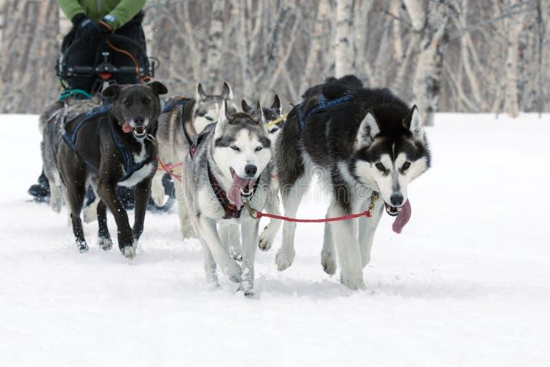 Sania Psi Ścigać się na Kamchatka: działającego psa sania drużyny Alaski husky obrazy royalty free