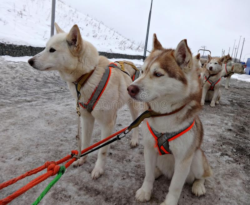 Sanie psów Syberyjscy husky w nicielnicie zdjęcie royalty free
