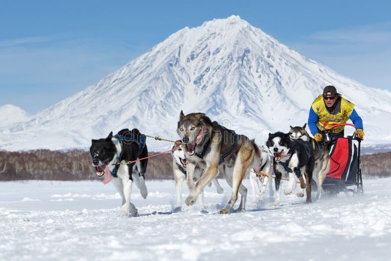 Sanie psa drużyny bieg na tle wulkan Kamchatka sania psa rasa Beringia, Rosyjska filiżanka sania Psi Ścigać się obraz royalty free