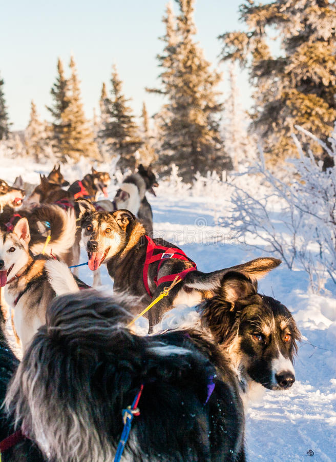 Sanie psa drużyny czekanie dla rozkazów zdjęcia royalty free