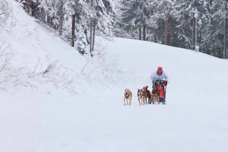 Sanie psa rasa, kierowca i psy podczas rywalizaci, obraz stock