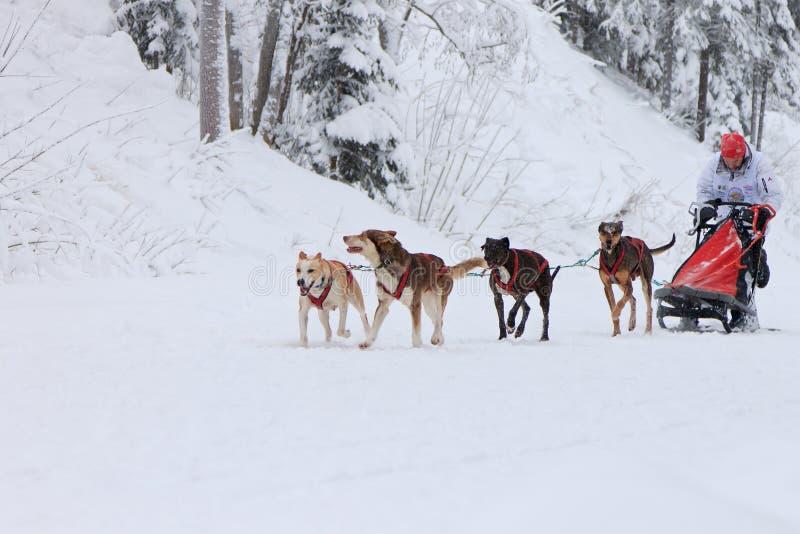 Sanie psa rasa, kierowca i psy podczas rywalizaci na zimy drodze, obrazy royalty free