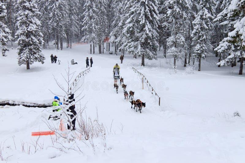 Sanie psa rasa, pies drużyna podczas skijoring rywalizaci fotografia royalty free