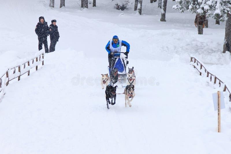 Sanie psa rasa, pies drużyna podczas skijoring rywalizaci na zimy drodze zdjęcia stock