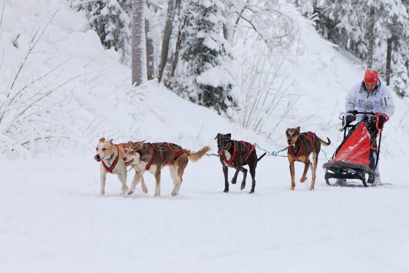 Sanie psa rasa, psy i kierowca podczas rywalizaci na zimy drodze, fotografia royalty free
