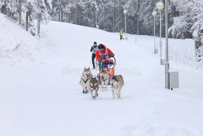 Sanie psa rasa, psy i kierowca podczas skijoring rywalizaci, zdjęcie stock