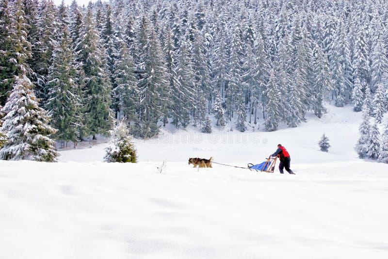 Sanie psy i musher w śnieżnym halnym lesie fotografia royalty free