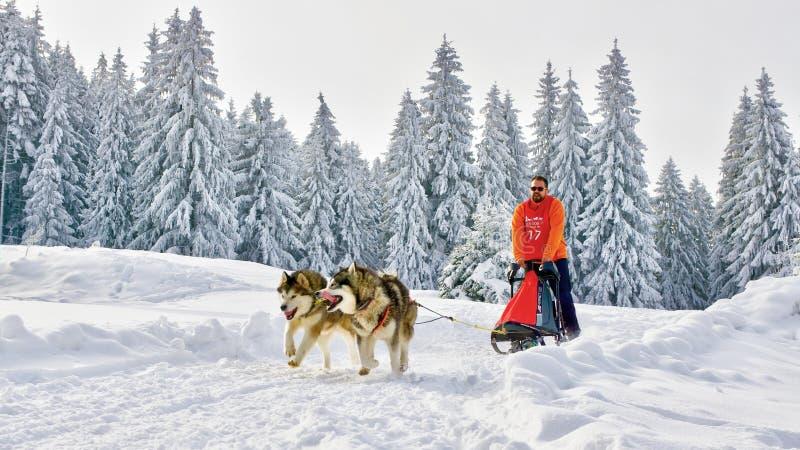 Sanie psy w turniejowym bieg w zamarzniętej ziemi obrazy royalty free