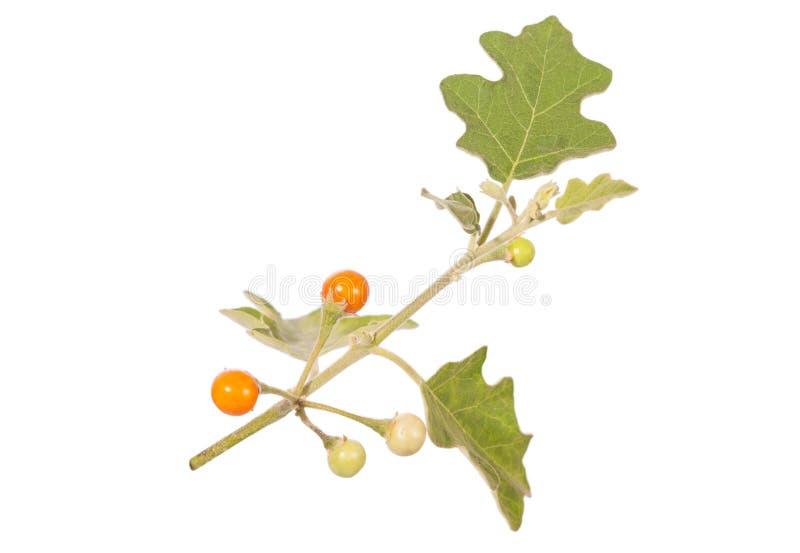 Sanitwongsei do Solanum imagem de stock
