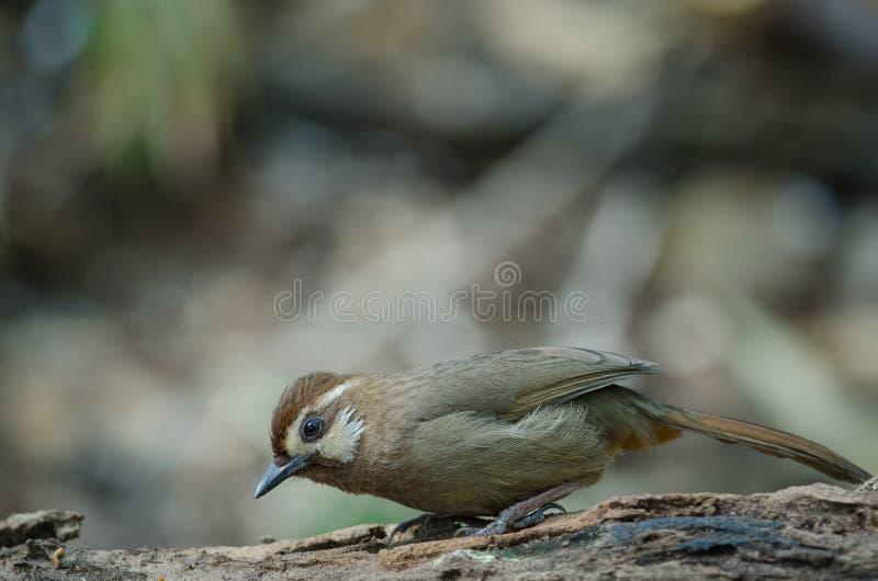 sannio Blanco-cejudo de Garrulax del pájaro de Laughingthrush fotografía de archivo