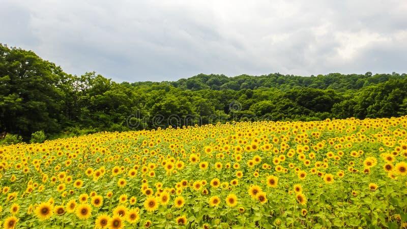 Sannokura Highlands Sunflower Fields in summer season sunny day. Kitakata city, Fukushima Prefecture, Japan royalty free stock photo