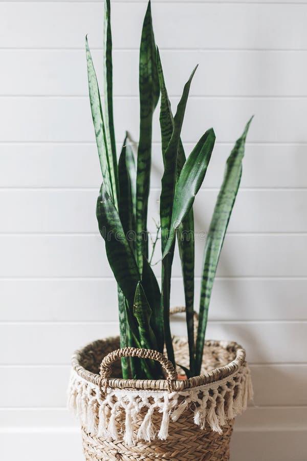 Sansevieria alla moda della pianta verde in vaso della paglia su fondo della parete rustica bianca, spazio della copia Decorazion fotografia stock