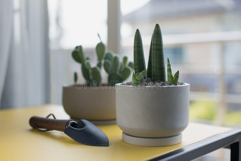 Sansevieria stuckyi in gray cement pot. Sansevieria cylindrica Bojer ex Hook. Sansevieria stuckyi in gray cement pot stock photo