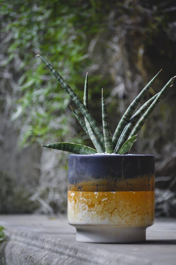 Sansevieria cylindrica tłustoszowata roślina w graffiti garnku fotografia royalty free