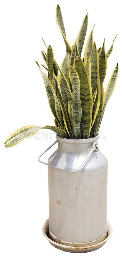 Sansevieria. Decorative green house plant in the metal pot. stock image