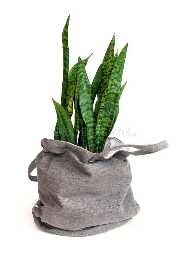 Sansevieria plant in a bag royalty free stock image