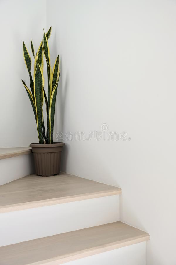 Sansevieria or snake plant at staircase in home royalty free stock photo
