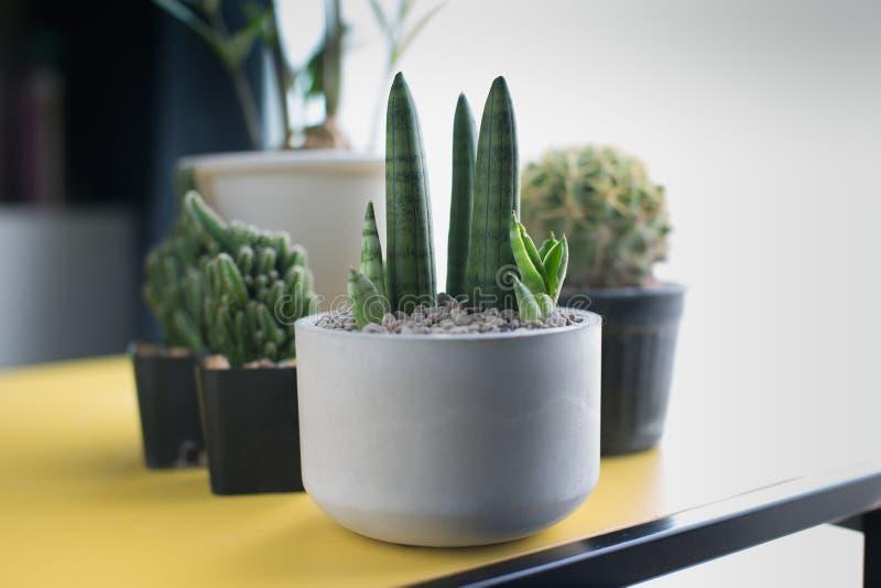 Sansevieria stuckyi in gray cement pot. Sansevieria cylindrica Bojer ex Hook. Sansevieria stuckyi in gray cement pot stock photos