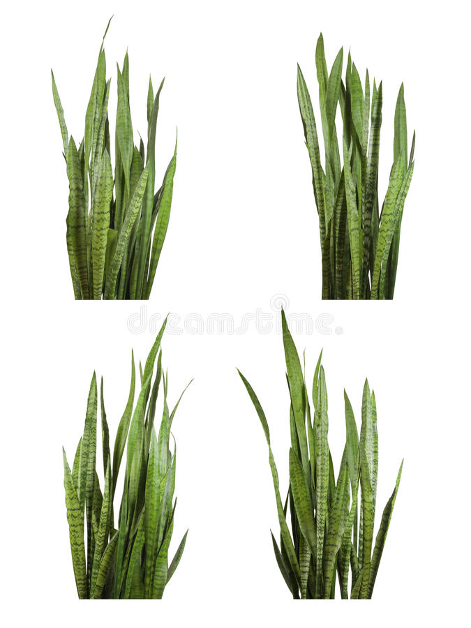 Sansevieria trifasciata plant (snake plant). Set of Sansevieria trifasciata plant (snake plant) isolated on white background stock photography