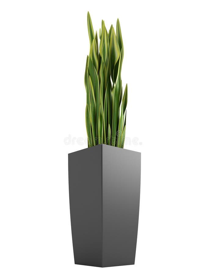 Sansevieria trifasciata wąż roślina ilustracji