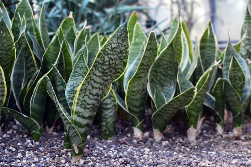 Sansevieria tropical Trifasciata Snakeplant que crece en fila imagenes de archivo