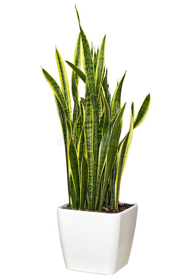 Sansevieriya houseplant in een grote witte pot stock fotografie