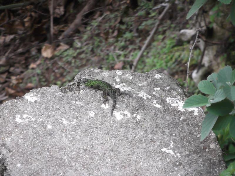 Santa Ana Lizard lizenzfreie stockbilder