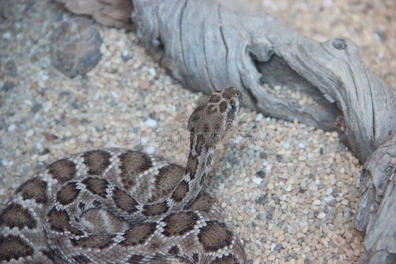 Santa Catalina Island Rattlesnake (catalinensis do Crotalus) foto de stock royalty free