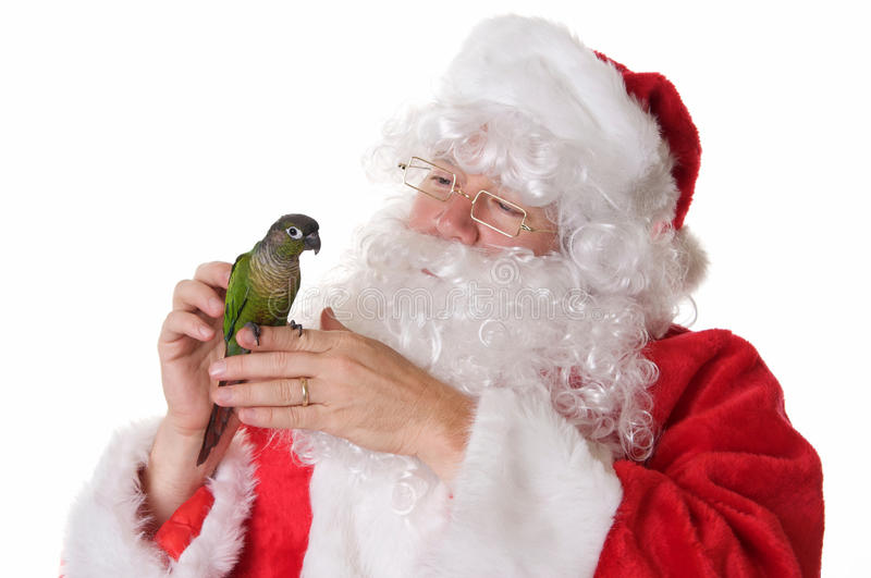 Santa Claus with a Green Cheek Conure Bird. Santa Claus on a white background holding and petting a green cheek conure pet bird stock photos
