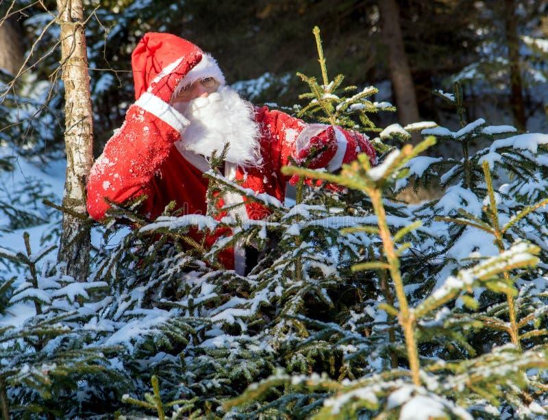 Santa Claus schauen heraus hinter schneebedeckten Bäumen stockfotografie