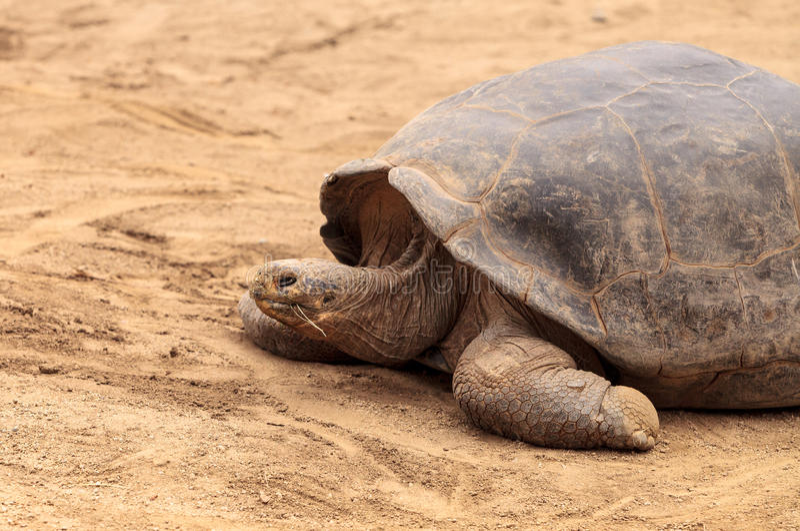 Santa Cruz Island Tortoise Chelonoidis-nigra portier royalty-vrije stock foto