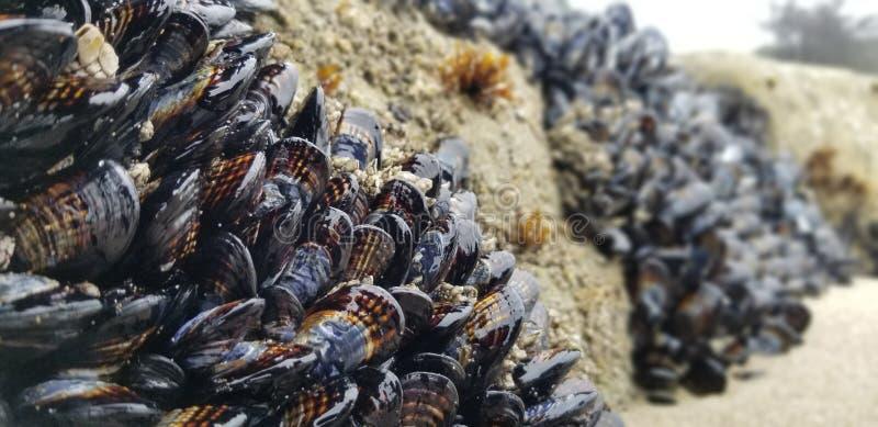 Santa Cruz-ochtendtweekleppige schelpdieren royalty-vrije stock foto